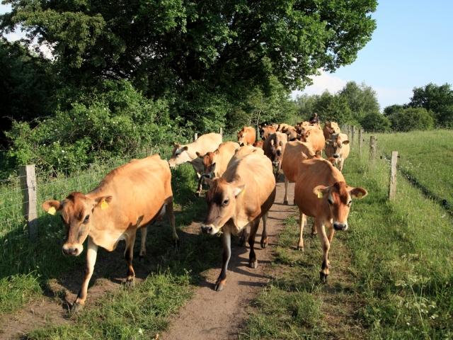 Unsere Jersey-Herde auf dem Weg zum Melkstand